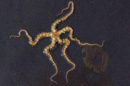 Brittle Star (Ophiuroidea) on gleaming wet rock Reklamní fotografie