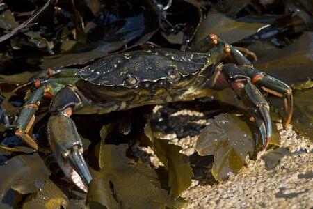 European Green Crab (Carcinus maenas) on seaweed and barnacle encrusted rock Reklamní fotografie