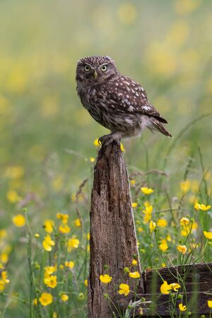 Little Owl (Athene Noctua) perched on an old wooden stump in a golden field of buttercups