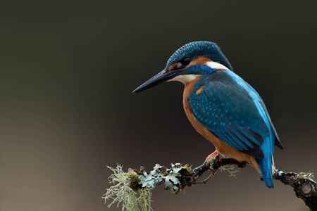 Kingfisher (Alcedo atthis) perched on a lichen covered branch
