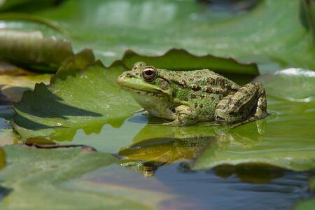 Sahara Frog (Pelophylax saharicus) on lily pad