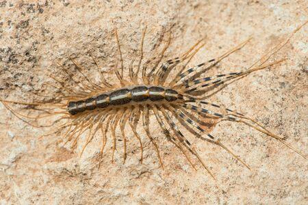 House Centipede (Scutigera coleoptrata) on the underside of a rock in Morocco