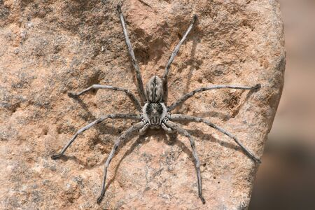 Wolf Spider (Lycosidae) on the underside of a rock in Morocco Reklamní fotografie