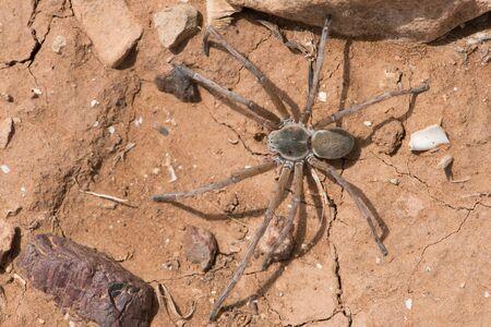 Wolf Spider (Lycosidae) on cracked dry desert earth Reklamní fotografie