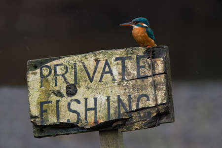 Kingfisher (Alcedo atthis) perched on a private fishing sign Reklamní fotografie