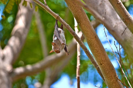 Horseshoe Bat hanging from branch in the daylight