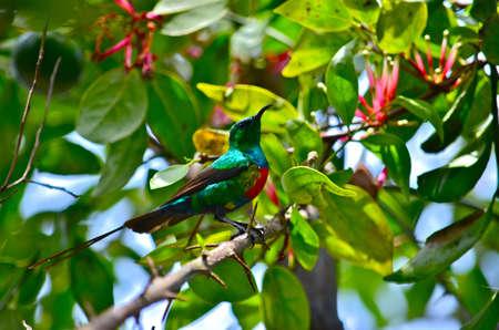 sunbird: Beautiful Sunbird in Grape fruit tree with flowering vine