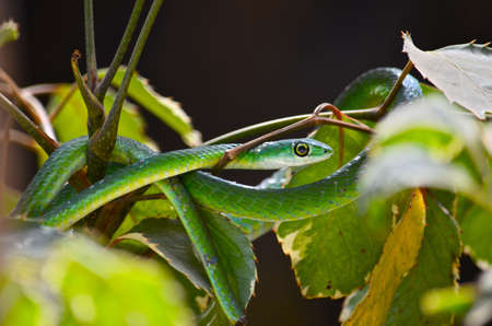 Coiled green ribbon snake in branches