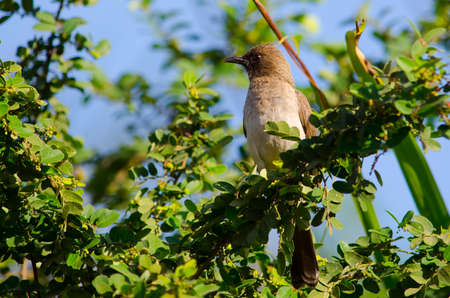 Common Bulbul perched on leafy branch