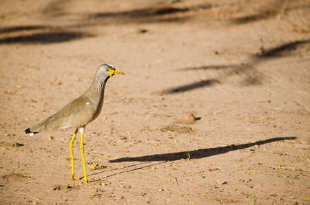 wattled: African Wattled Plover  or Lapwing  with Morning Shadow