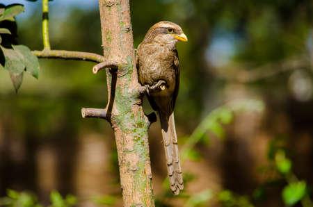 Yellow-Billed Shrike Perched on avocado tree Stock fotó