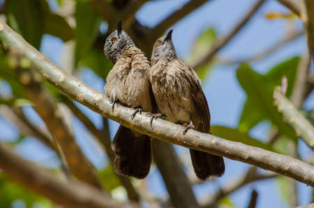 A pair of brown babblers looking up, interrupted from preening Stock Photo