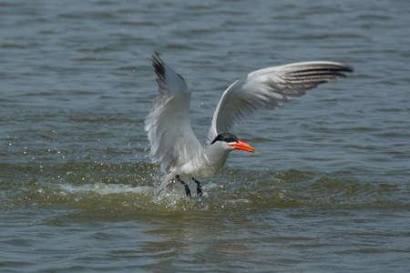 A caspian tern making a splash on take off, after a dive Stock fotó
