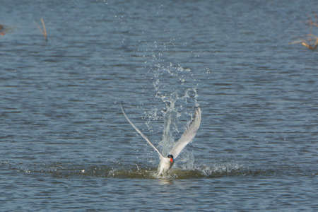 A Caspian Tern taking off after a dive