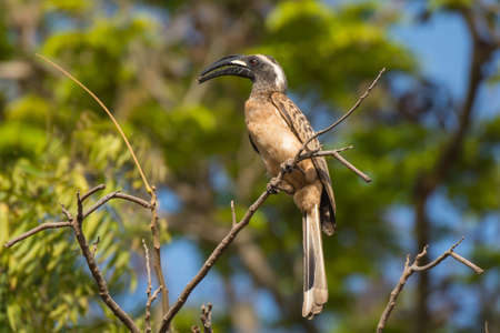 A male African Grey Hornbill with seed in mouth photo