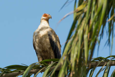 unimpressed: A Palm Nut Vulture looks very unimpressed with something