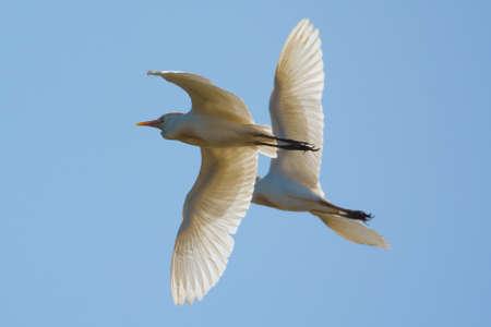 sincronizacion: 2 Cattle Egrets que vuelan en sincronizaci�n Foto de archivo