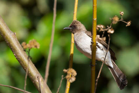 A Common Bulbul perched on slender tree