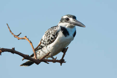 overhanging: A Pied Kingfisher perched on overhanging branch
