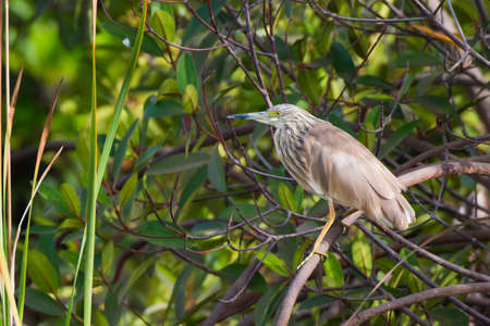 A Squacco Heron perched on a tree