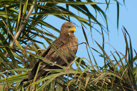 A Black Kite Perched in a Palm Tree