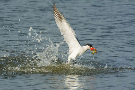 A Caspian Tern taking off after catching a fish
