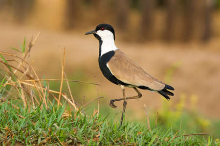 spur winged: Profile of Spur Winged Plover standing still on one leg