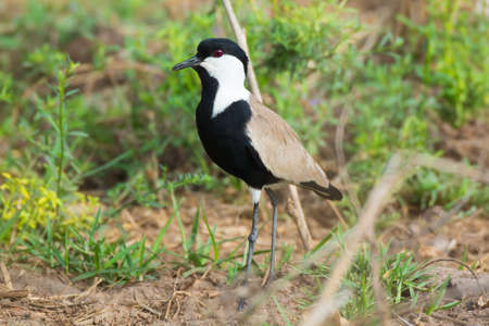 spur winged: A Spur Winged Plover Posing on the Ground