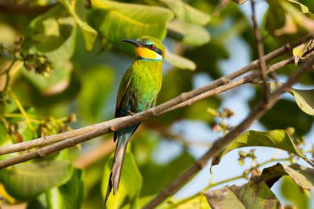 カシュー ナッツの木でとまられて Swallow-Tailed ハチクイ