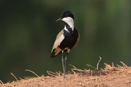 A Spurr-Winged Lapwing