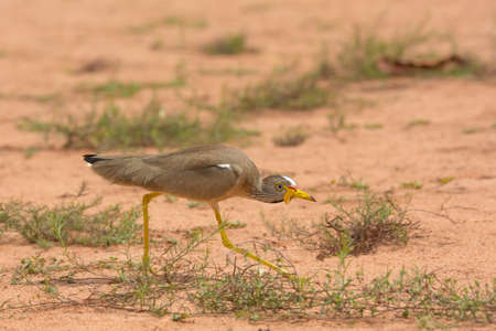 wattled: An African Wattled Plover crouching down low