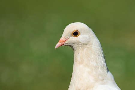 pidgeon: A close up portrait of a White Pidgeon Stock Photo
