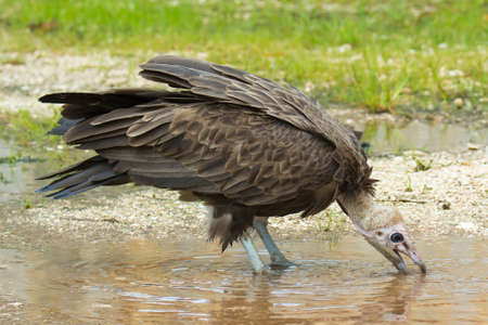 A Hooded Vulture drinking from a pool of water Banco de Imagens