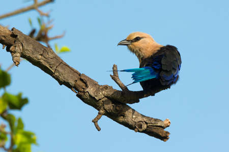 roller: A Blue-Bellied Roller with tail stretched out