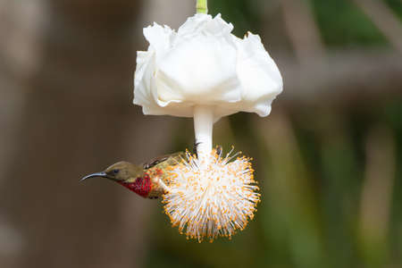 A young Scarlet-Chested Sunbird on a baobab flower Imagens