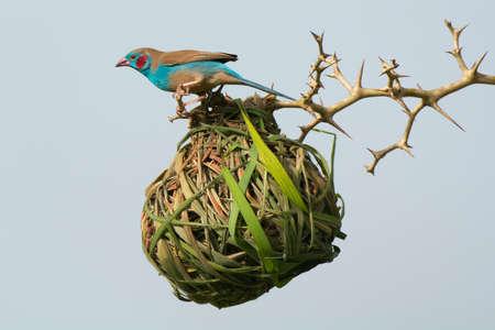 A Red-Cheeked Cordon Bleu investigates an occupied vitelline weaver nest Stock Photo