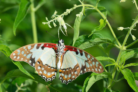 thomisidae: A White Lady Swallowtail Butterfly caught by a Thomisus crab spider