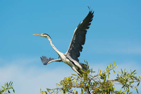 A Grey Heron taking off from his tree top perch