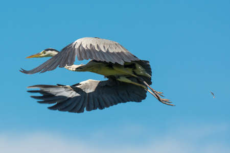 A Grey Heron taking off with a feather floating behind