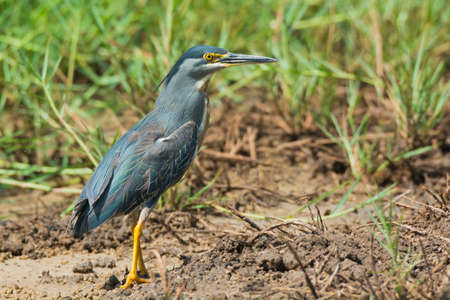 striated: A Striated Heron standing in a grassy marsh