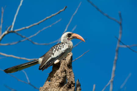 A Western Red-billed Hornbill perched on dead palm stump.