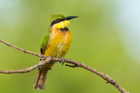 A highly detailed shot of a Little-Bee Eater on a perch photo