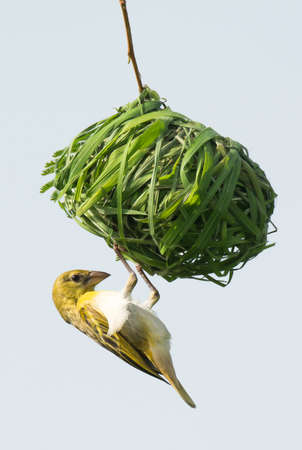 weaver bird nest: A Female Vitelline Weaver inspecting a nest from a potential mate