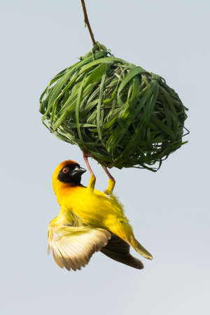 weaver bird nest: A Male Vitelline Weaver inspecting his nest after female rejection Stock Photo