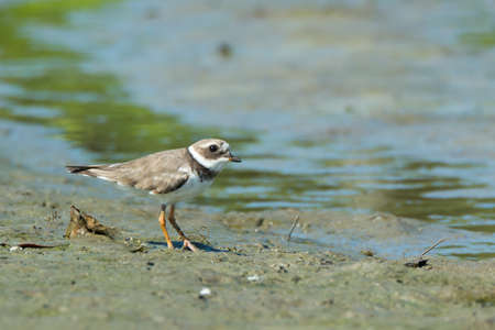 ringed: A Ringed Plover foraging the mud flats at low tide