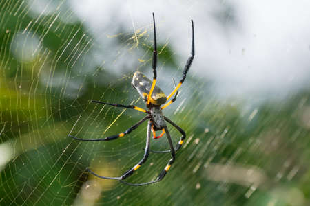 golden orb weaver: Una femmina di Golden silk Orb tessitura ragno in attesa sul suo web