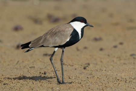 spur winged: A Spur-Winged Plover standing on the mud flats at low tide. Stock Photo