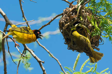 A male Village Weaver displays while a female investigates his nest for craftsmanship
