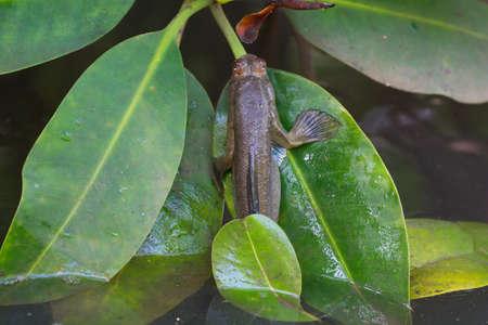 skipper: An amphibious fish from West Africa - a mudskipper crawls onto a mangrove leaf