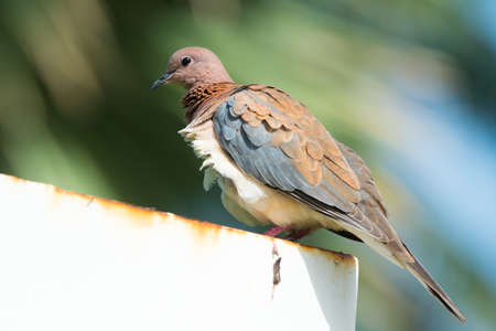 ruffling: A Laughing Dove with the breeze ruffling its feathers